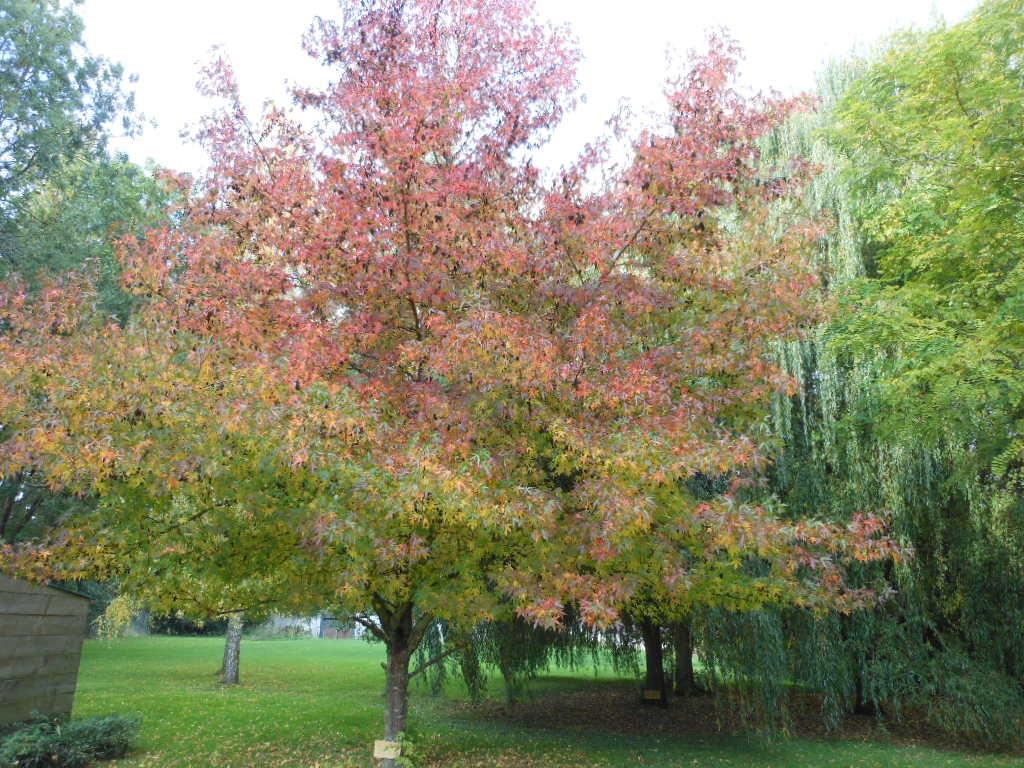 Couleur d'automne du Liquidambar du Manoir du Pont