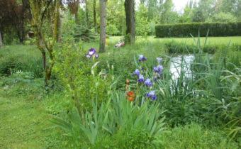 Iris en bord de riviere